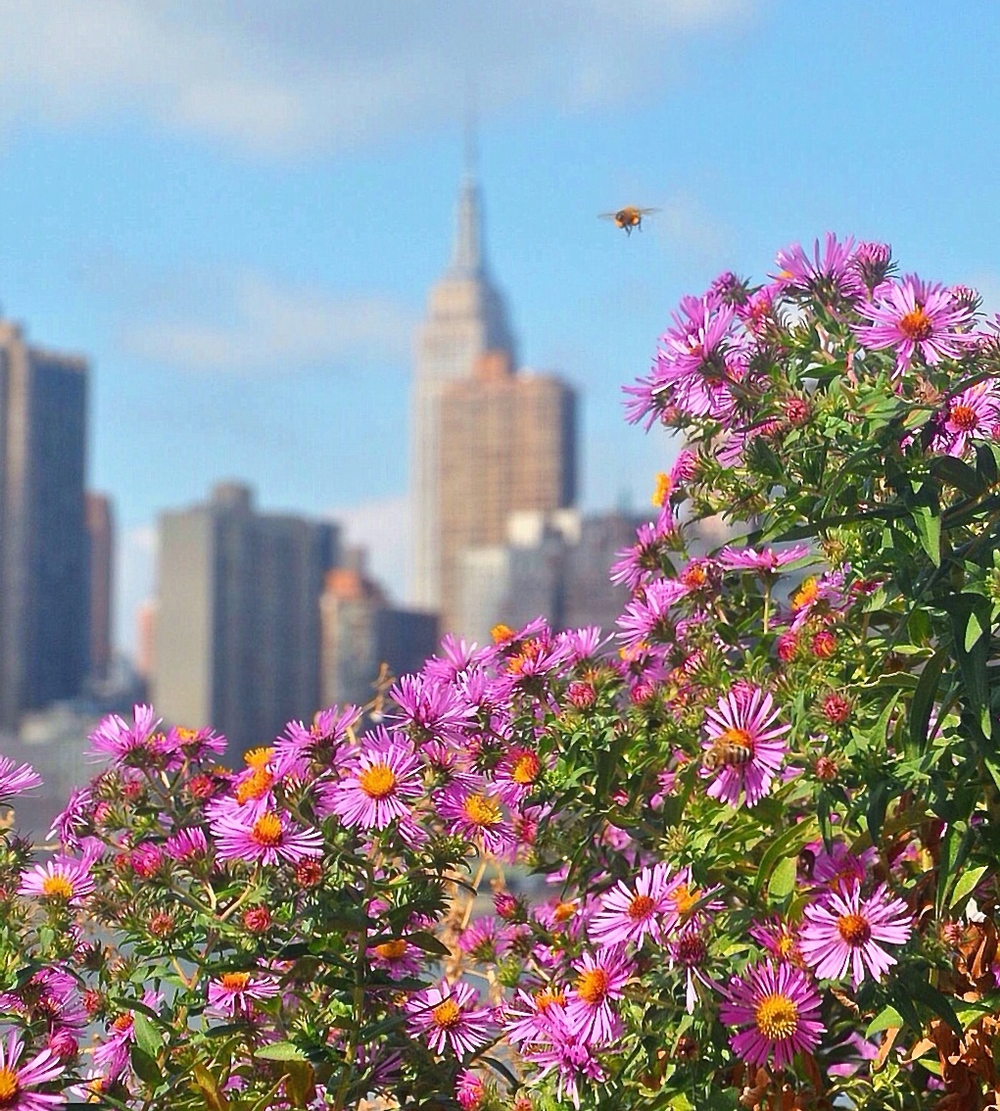 EMPIRE STATE BUMBLEBEE : I keep a mental note: when shooting in Manhattan (especially Central Park), look for scenes that unite man-made structures with nature. When I was exploring new vantage points at Gantry Park in Queens, I spotted these flowers set against the Midtown skyline. As I was shooting, a few bumblebees feasted on the flowers and this single bee wanted me to photograph him next to the Empire State Building. So I did.