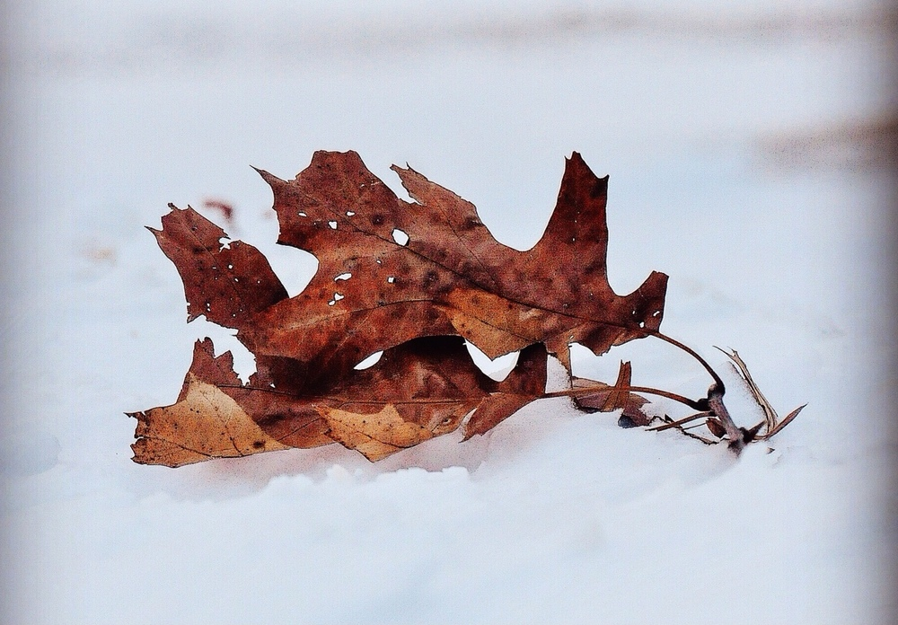 @ @ Snow_Eisenhower_Park _leaf. © 2015 Joseph Kellard.JPG.JPG