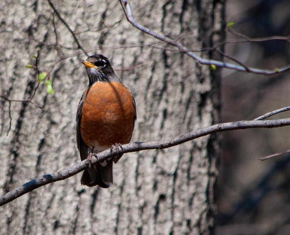 @ Riverside Park_American Robin_© 2015 Joseph Kellard-Kellardmedia.com.jpg