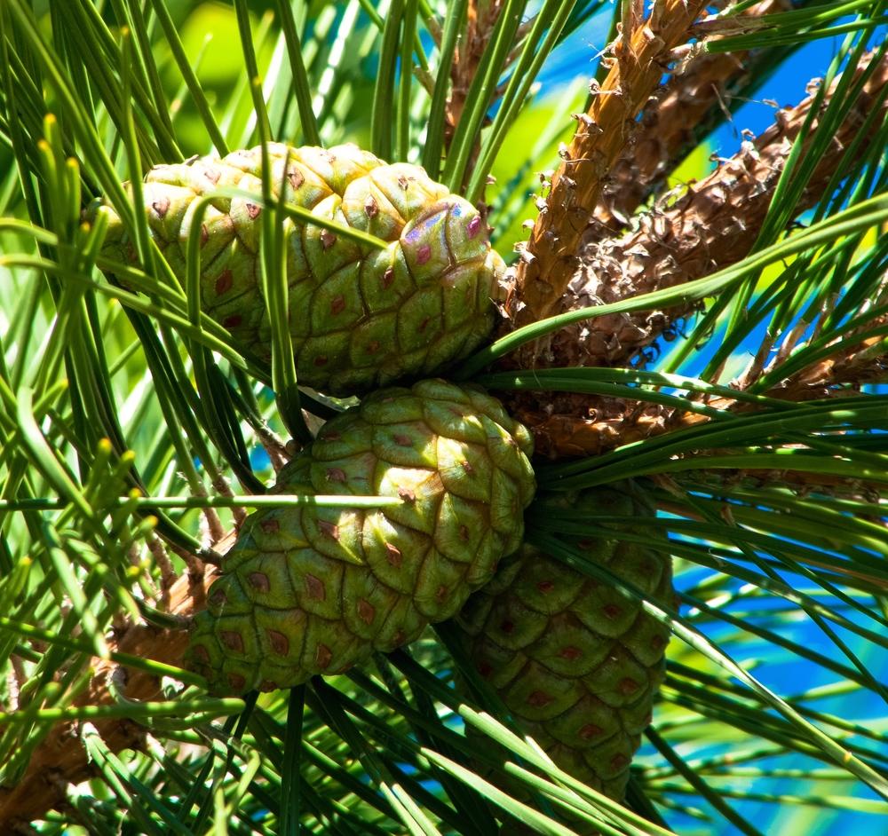 @ pine cones_fire island.jpg