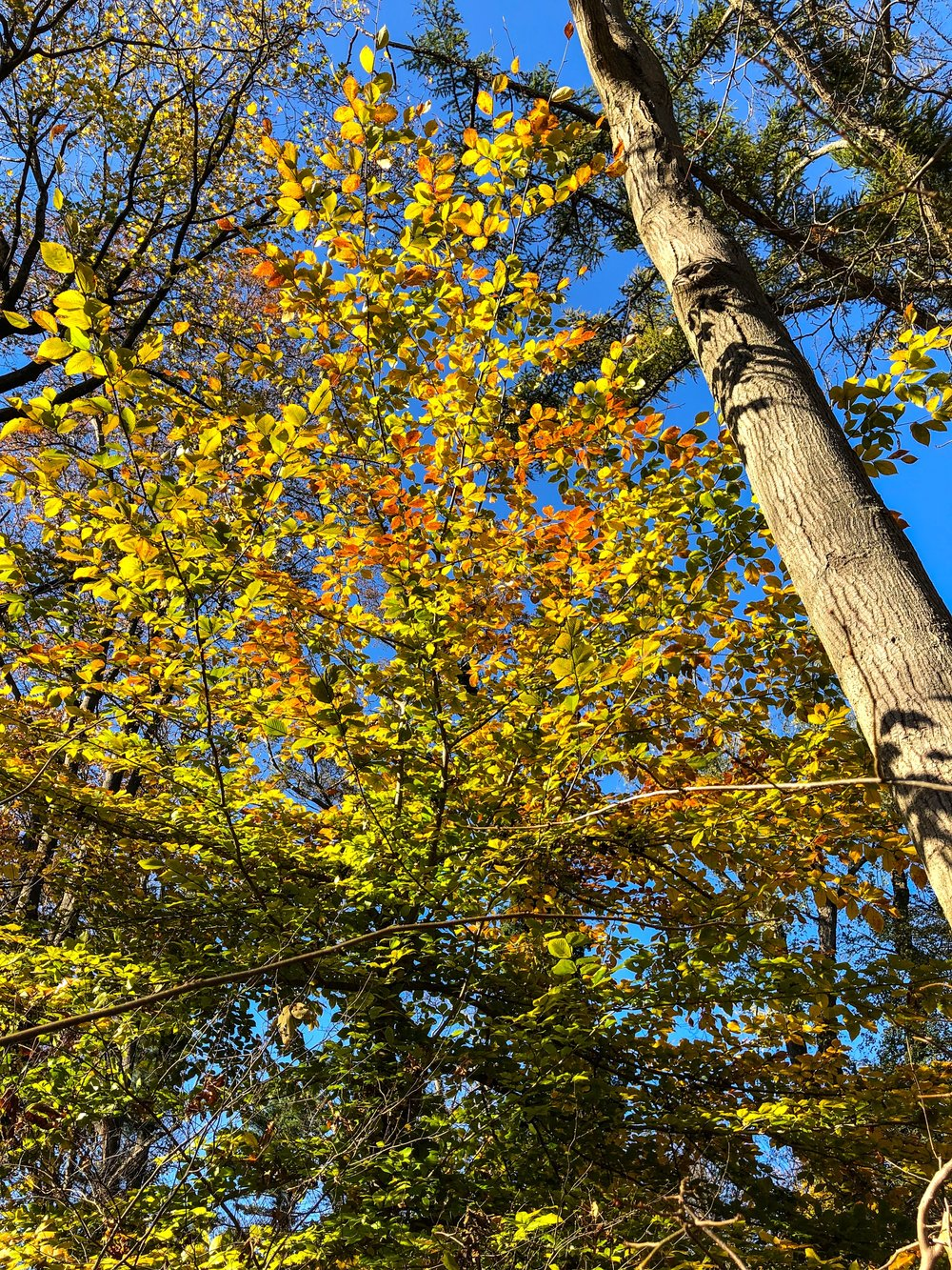 _@ Autumn trees_woods_Old Westbury Gardens_11.11.18-.jpg