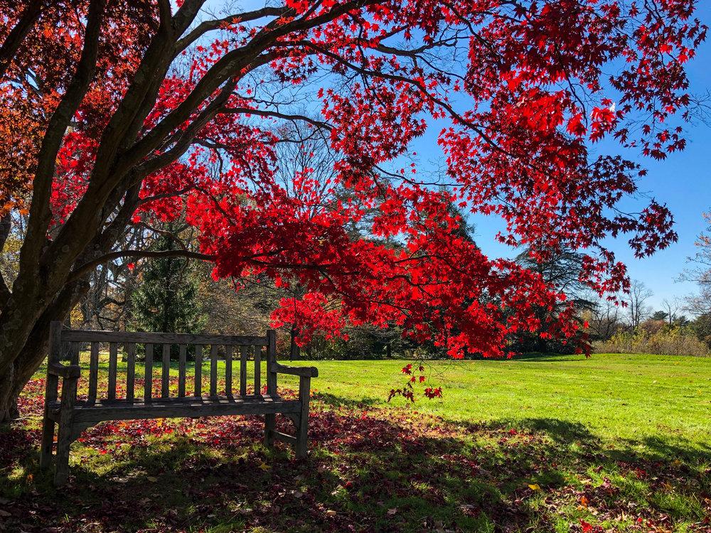 __@ Red maple tree_bench_Old Westbury Gardens 11.11.18_Photo © 2018 Joseph Kellard:kellardmedia.com.jpg