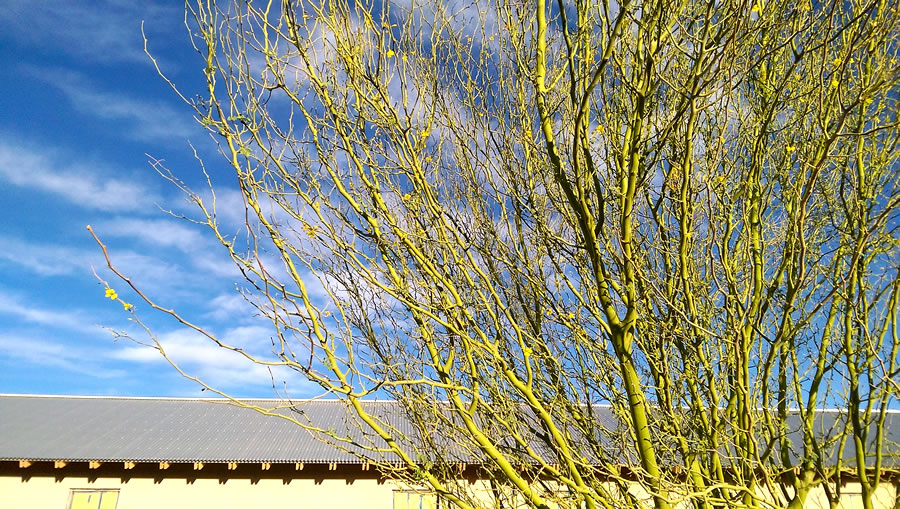 Palo verde trees in morning sunlight