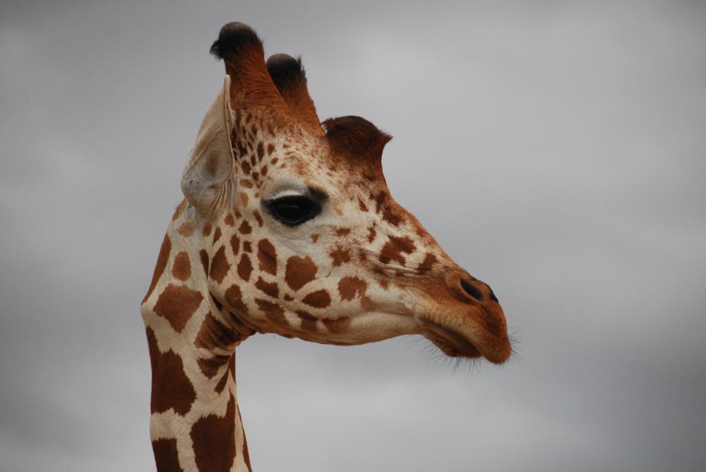 © RGP Single Giraffe.jpg