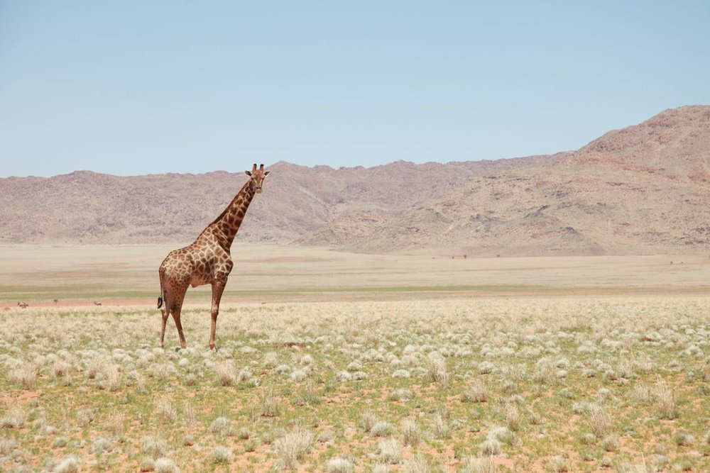lonegiraffe.jpeg