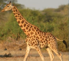 Kordofan Giraffe | G. c. antiquorum <2,000 | Critically Endangered Native to some of the most conflict-ridden regions in Africa, this subspecies can be found in southern Chad, Central African Republic, northern Cameroon, northern Democratic Republic of Congo, and western South Sudan.