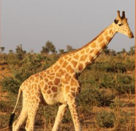 West African Giraffe | G. c. peralta <450 | Endangered Despite its endangered status, the West African Giraffe has seen improvement over the last 20 years. Strict protections by the Niger government has helped the population increase from just 49 individuals to approximately 450.