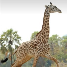 Thornicroft's Giraffe | G. c. thornicrofti <600 | Vulnerable Although a small population, Thornicroft's Giraffe (also historically called Rhodesian giraffe) survive in a remote region of north-eastern Zambia. Their nearest giraffe neighbors are more than 400 km away.