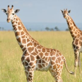 Rothschild's Giraffe | G. c. rothschildi <1,500 | Endangered Fewer than 1,300 remain in northern Uganda, and approximately 450 individuals range through west-central Kenya. Also called the Ugandan or Baringo giraffe.