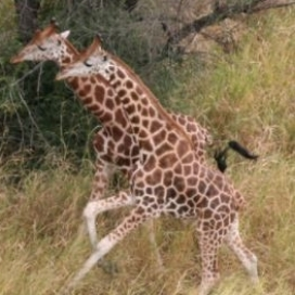 Nubian Giraffe | G. c. camelopardalis <650 | Critically Endangered There are fewer than 200 Nubian Giraffe in western Ethiopia and less than 450 in eastern South Sudan. These populations are particularly vulnerable to poaching and exact estimates are not known.
