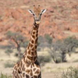 Angolan Giraffe | G. c. angolensis <13,050 | Vulnerable Angolan giraffe are a conservation success story. In three decades the population has nearly tripled thanks to coordinated conservation efforts. This subspecies is found in Botswana and Namibia, with populations reintroduced to Angola, and private herd in South Africa and Zimbabwe.