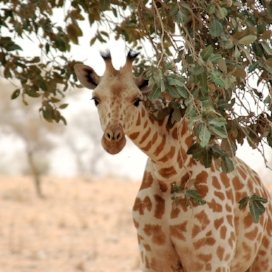 Diet - Acacia leaves and shoots make up the greater part of a giraffe's diet. They use their long tongues to wrap branches and slide the leaves off the tree. Giraffes get much of the water they need from browsing and can tolerate long stretches without drinking liquid water if fresh browse is available. Photo: Roland H., Creative Commons