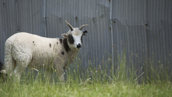 A Jacob lamb from Cindy Ghent's flock in Ontario.