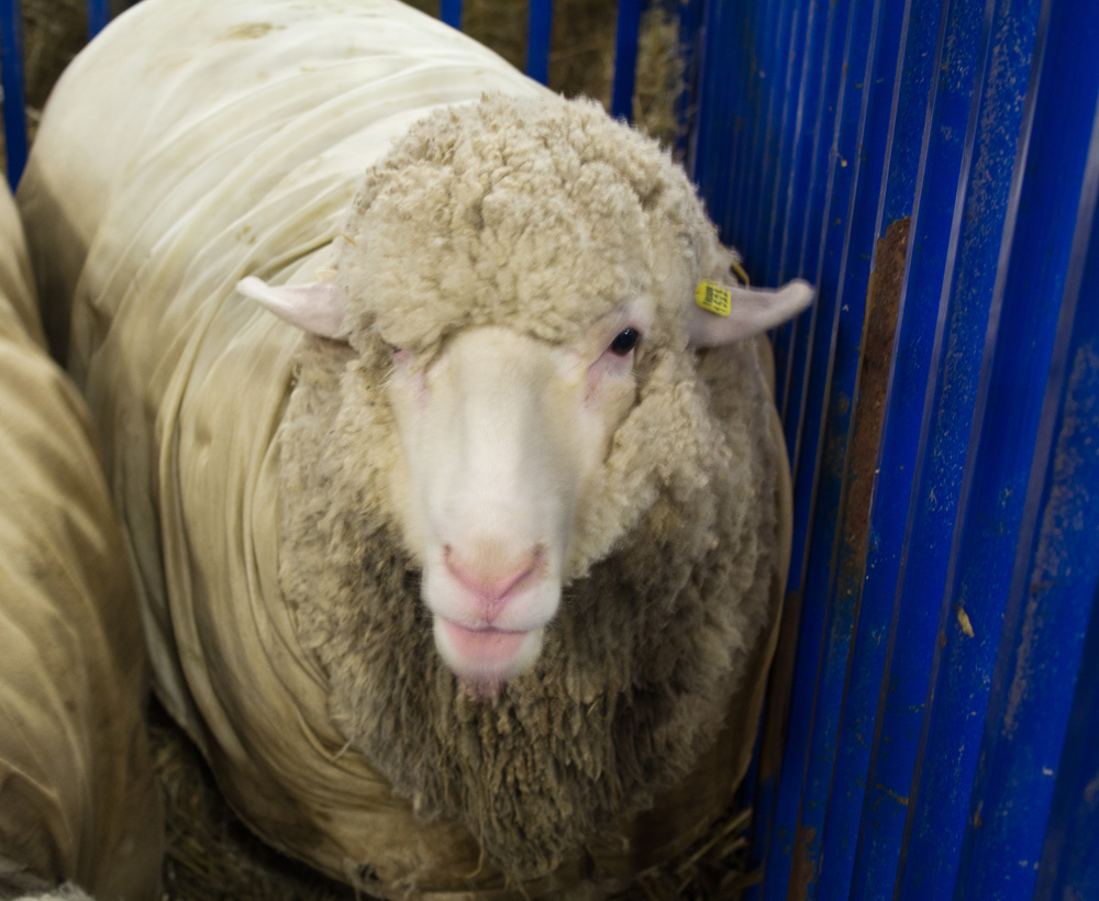 A quizzical Cormo at the Maryland Sheep and Wool Festival. ©askatknits; used with permission.
