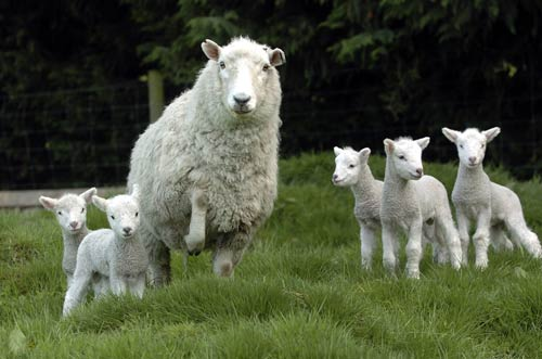 "Photo from Hugh Stringleman and Robert Peden. ""Sheep farming - New Zealand sheep breeds,""Te Ara - the Encyclopedia of New Zealand, updated 14 Nov 2012."