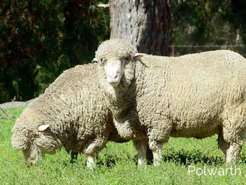 © Polwarth Sheepbreeder's Association of Australia. Used with permission.