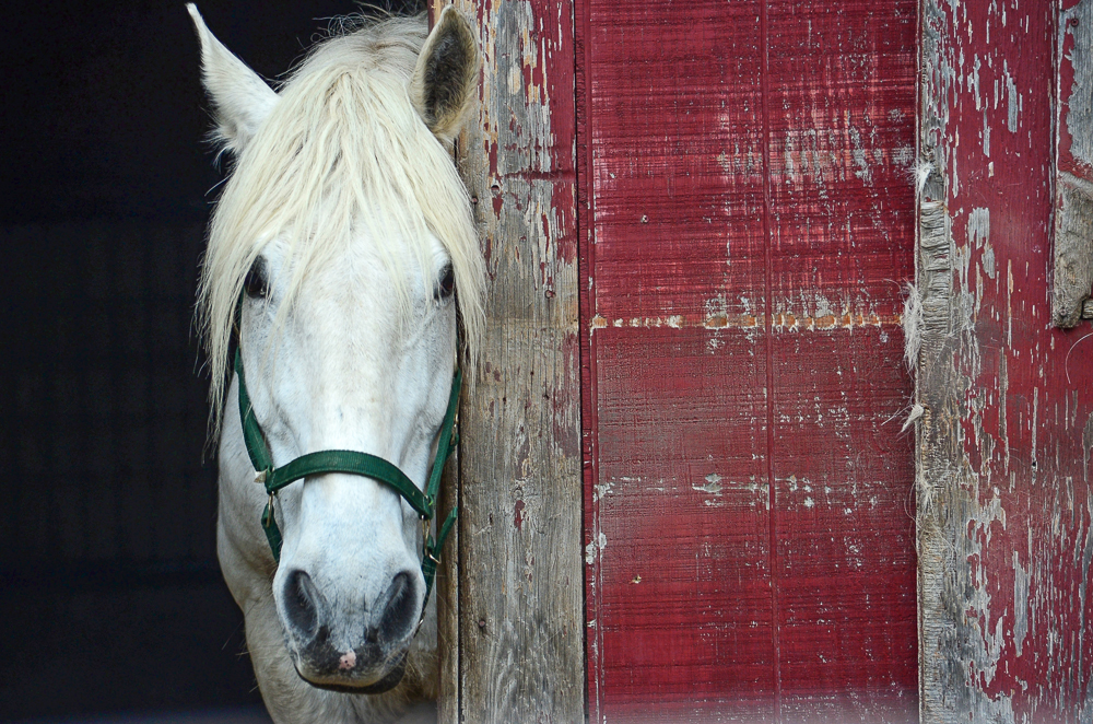Horse red barn mspca.jpg