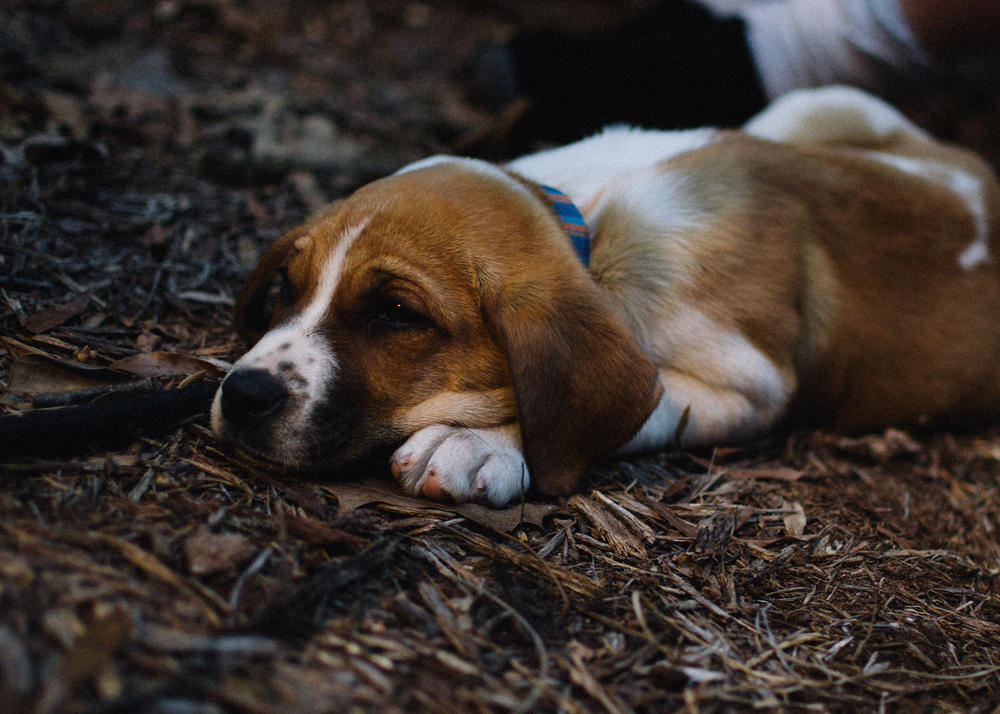 Meet Gus! He is a beagle mix, and he is as sweet as can be! He had a blast chasing our boys around today and was worn out by supper time, so he was finally still so I could snap his picture!