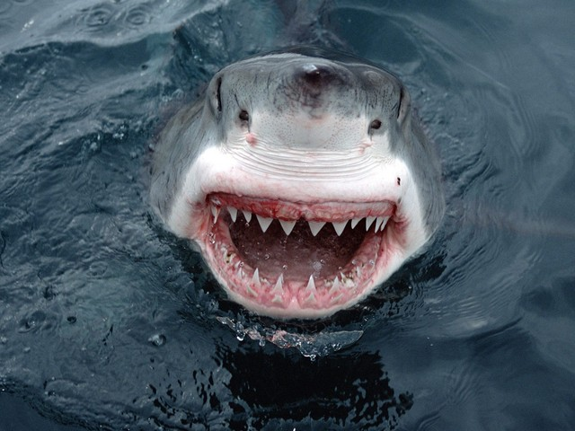 Yipes_-Great-White-Shark_-South-Australia1.jpg