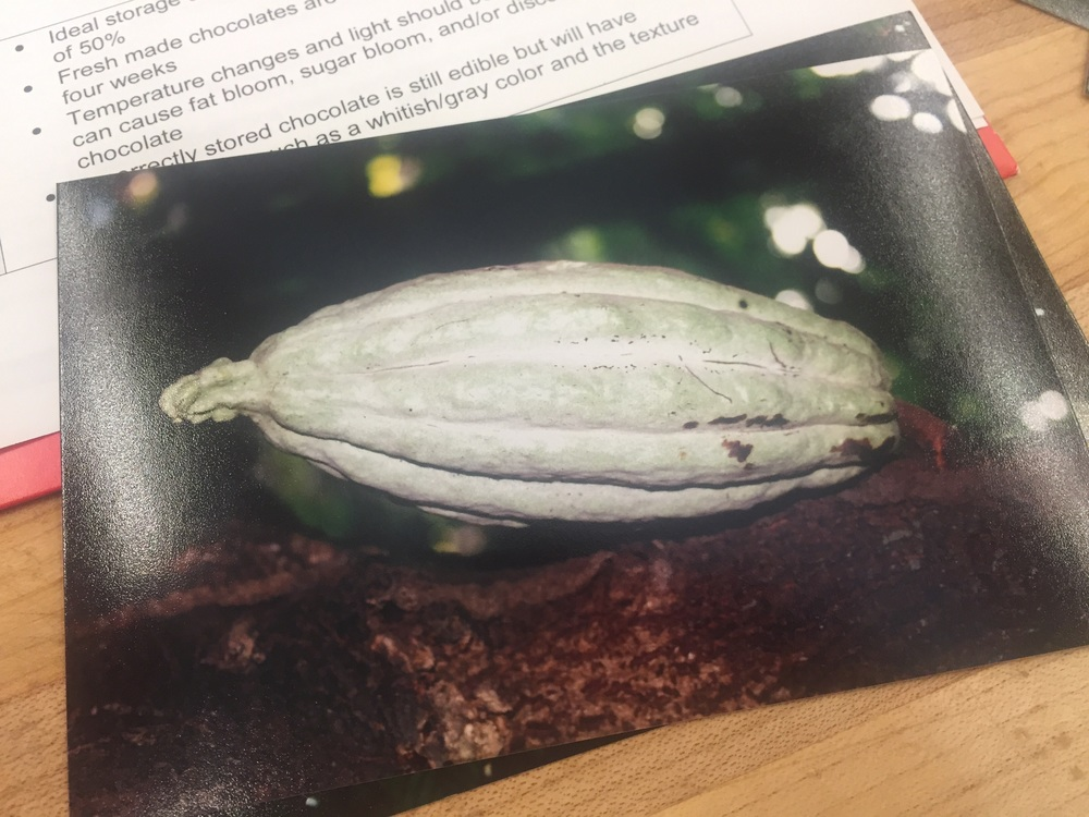 A cocoa tree pod - they're ripe when they turn red