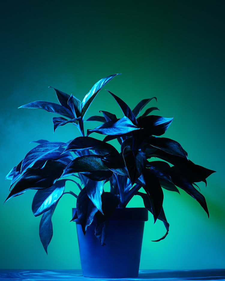 Still life of a plant on a dark blue background.