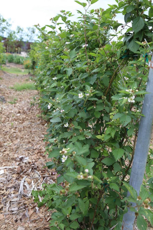 Thornless blackberries in bloom
