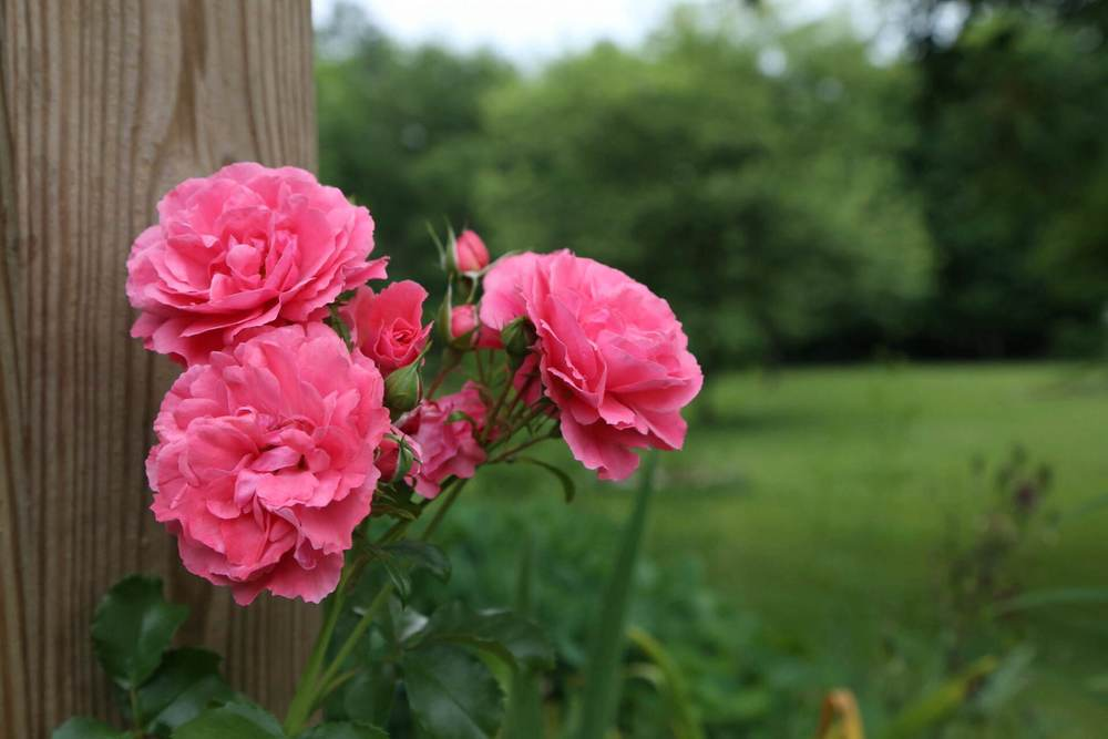 Pink climbing roses for Grammy