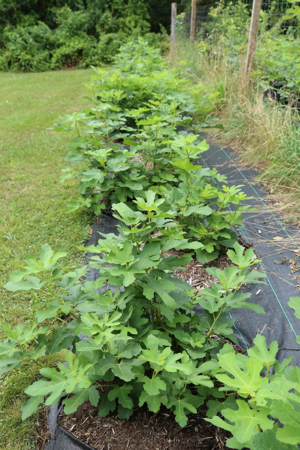 A happy, healthy row of figs on drip irrigation. Notice the growth even after a very harsh winter!