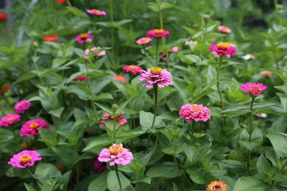 Our zinnias in their prime