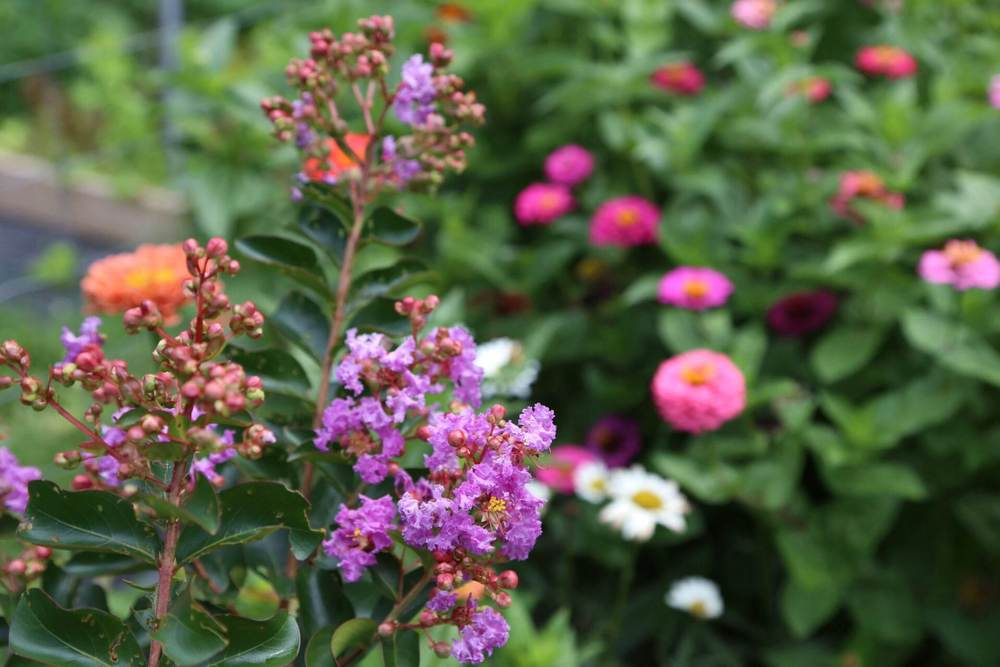 Our purple crape myrtle flowering after dying back almost to the ground this year.