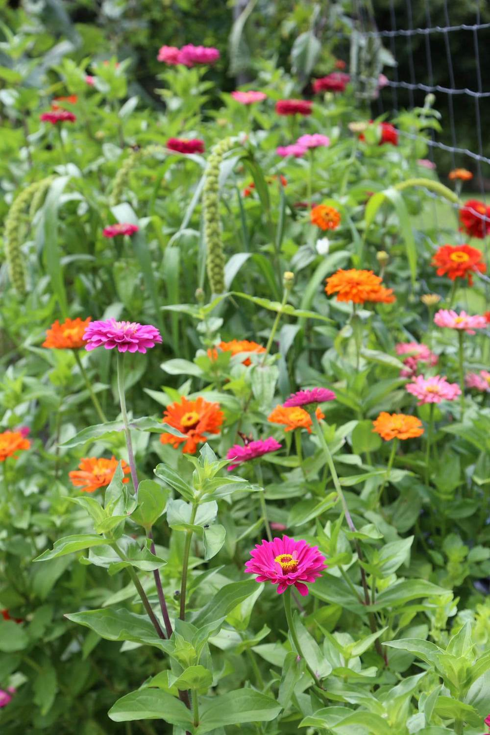 I couldn't resist. Yet another zinnia shot. They're so vibrant this year.