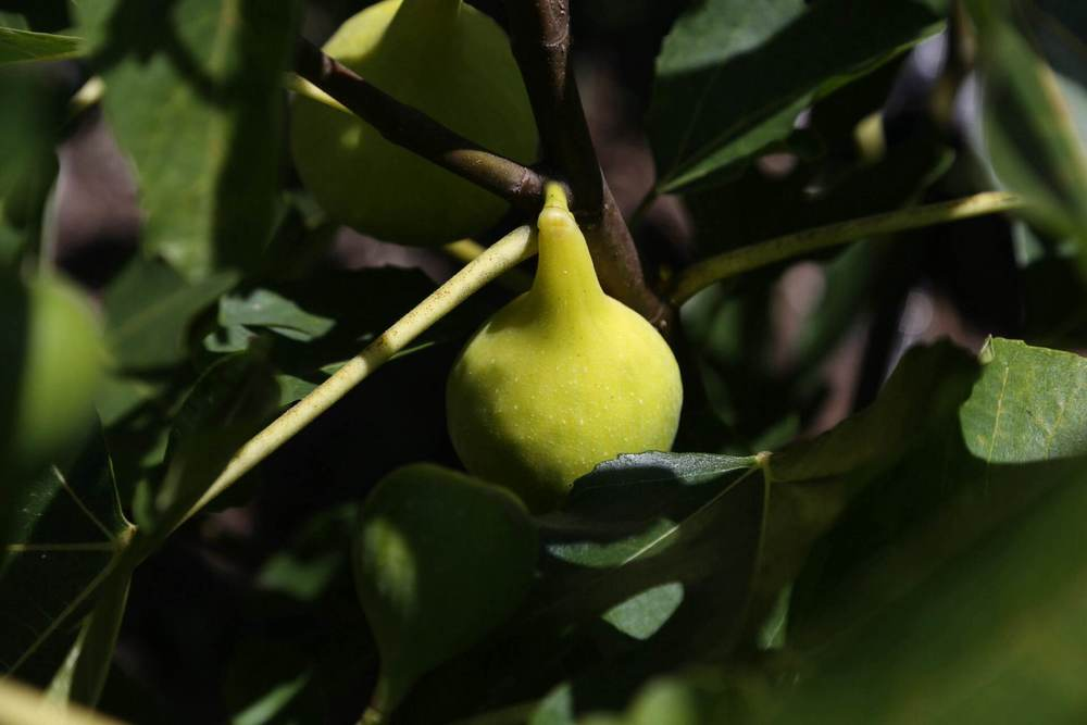 A ripe Latarolla fig. Birds don't seem to bother light figs as much as dark figs. Maybe they're fooled by them?