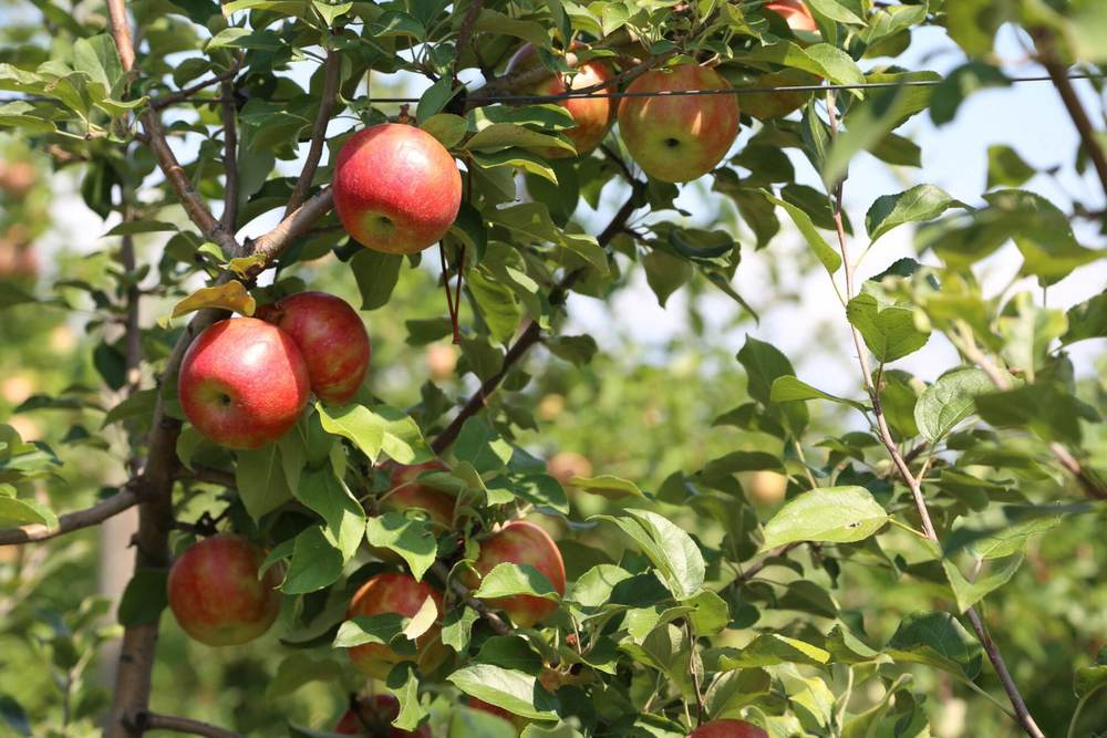 Honey Crisp apples almost ready to pick.