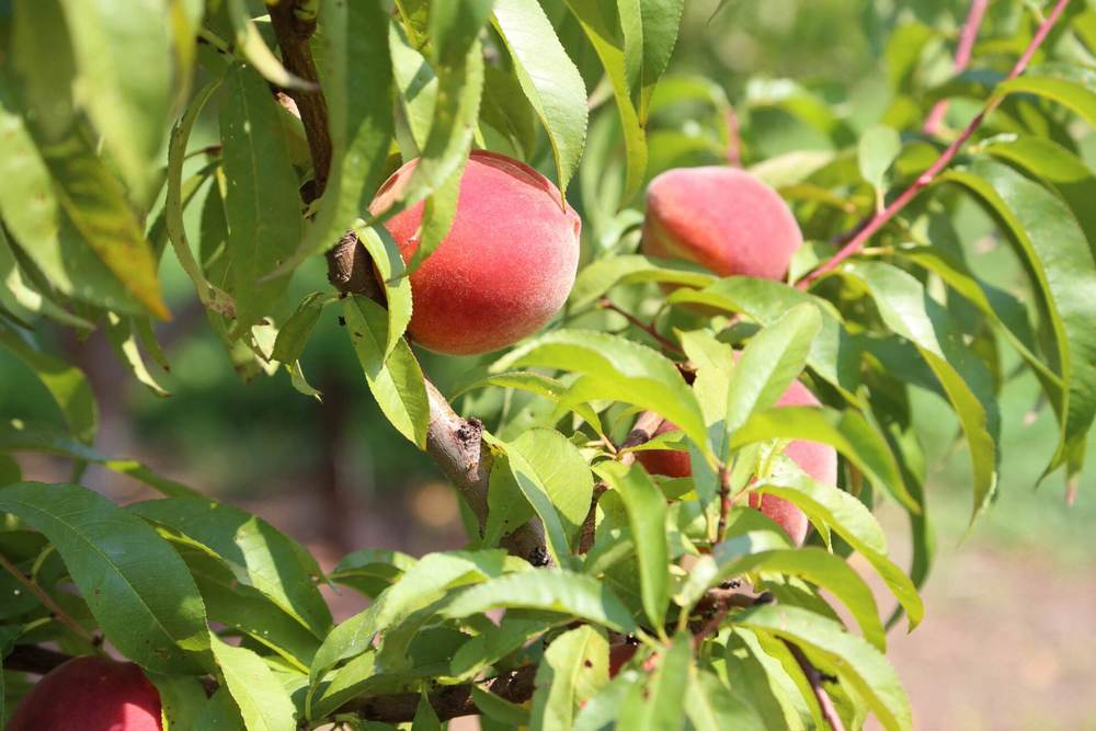 Some of the last peaches ripening on the tree.