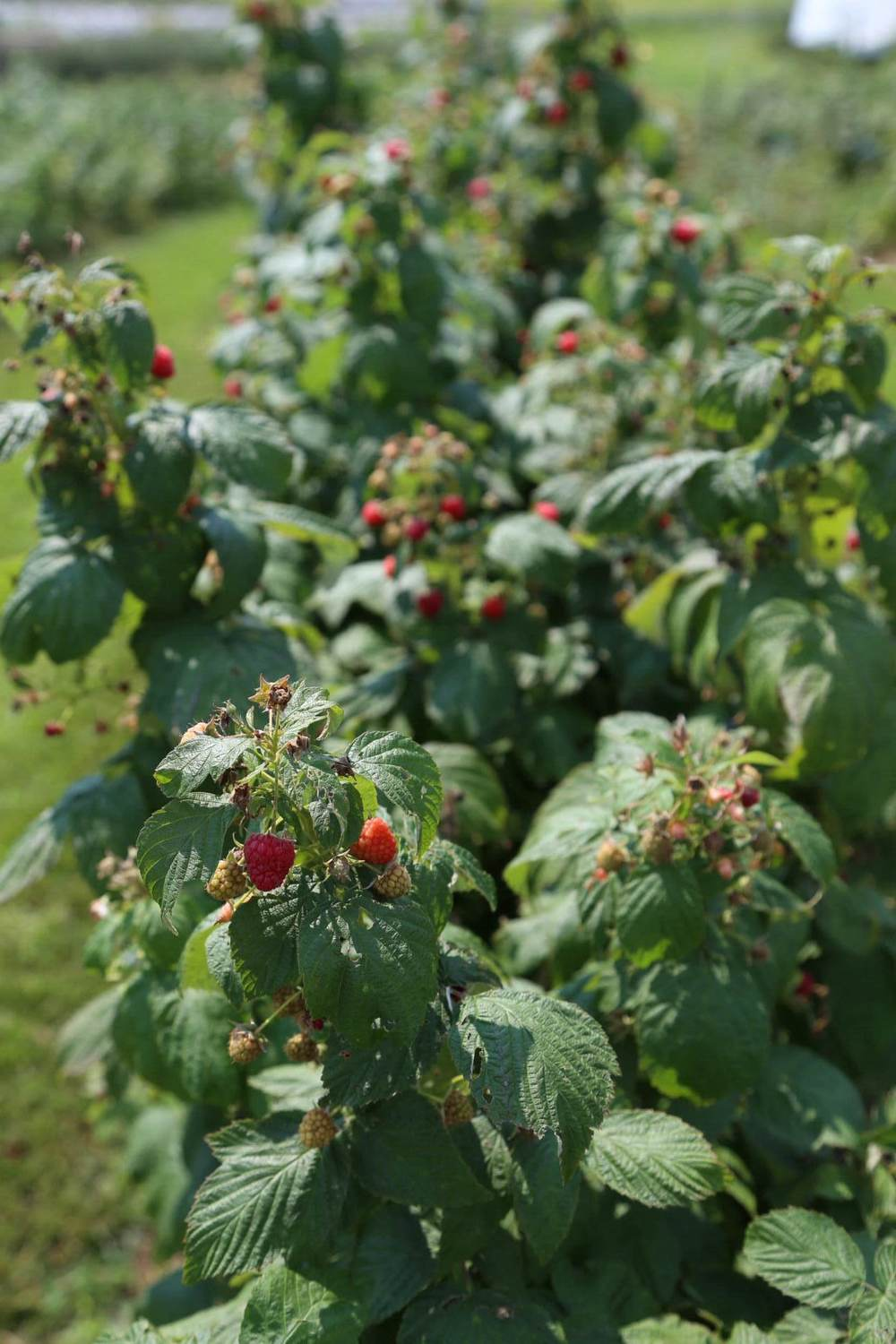Fall-bearing (everbearing) raspberries ready for the picking
