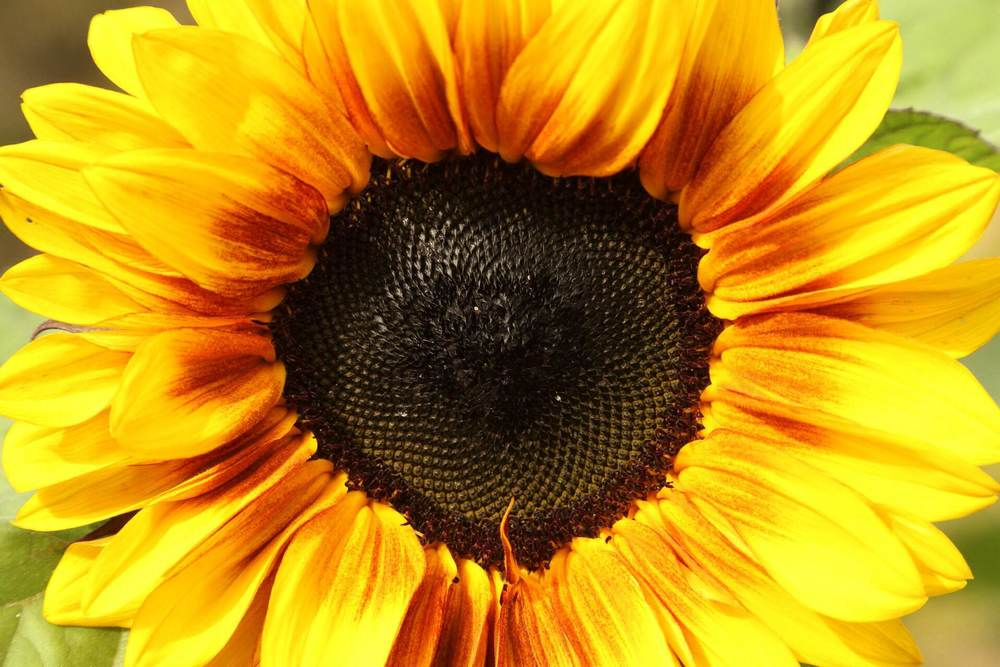 The last sunflower to bloom this season.