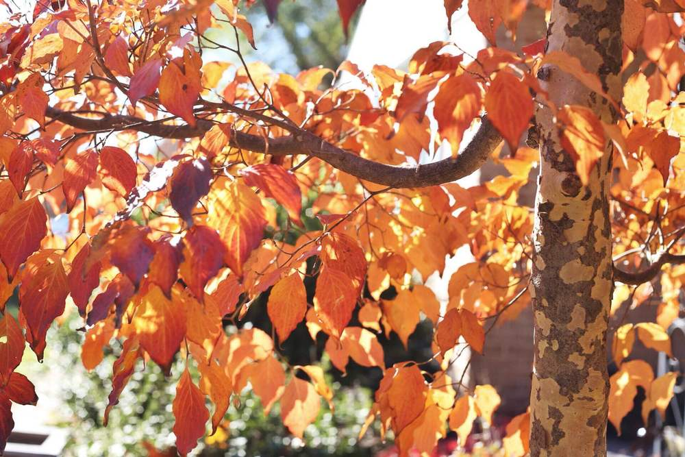 The kousa dogwood shows off its beautiful leaves and contrasting bark