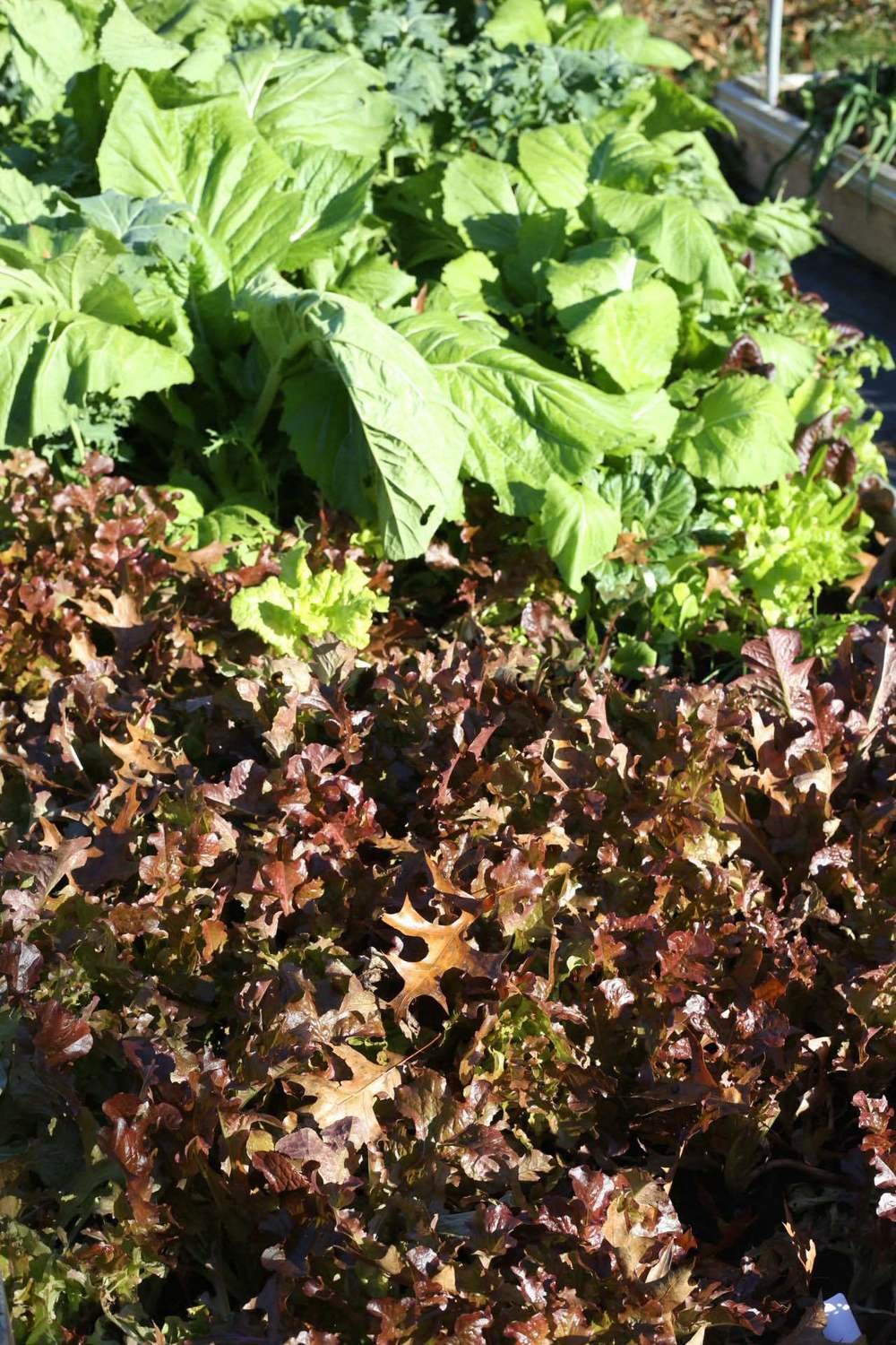 Lettuce and other greens shrug off frosts and light freezes.