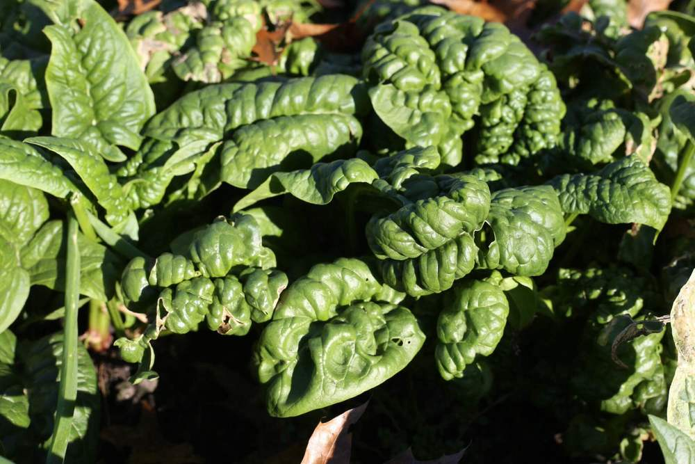 Fresh spinach is exceptional in fall and winter, plus the insect pressure is lower too. Spinach has proven very hardy for us, surviving down to -5F under snow cover or cold frames.