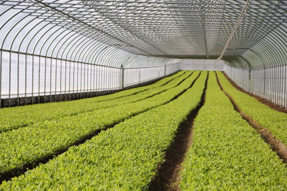 Large beds of arugula fill the space in this greenhouse. Over a half mile of beds per my figuring.