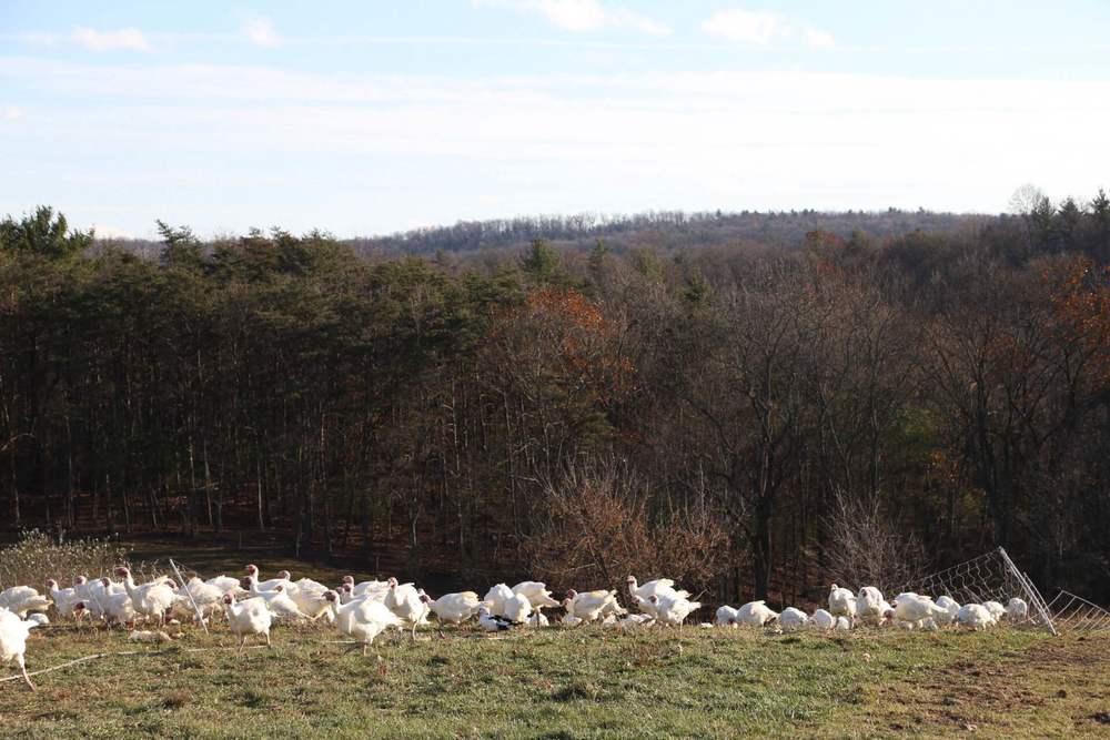 Turkeys enjoying their time prior to Thanksgiving.