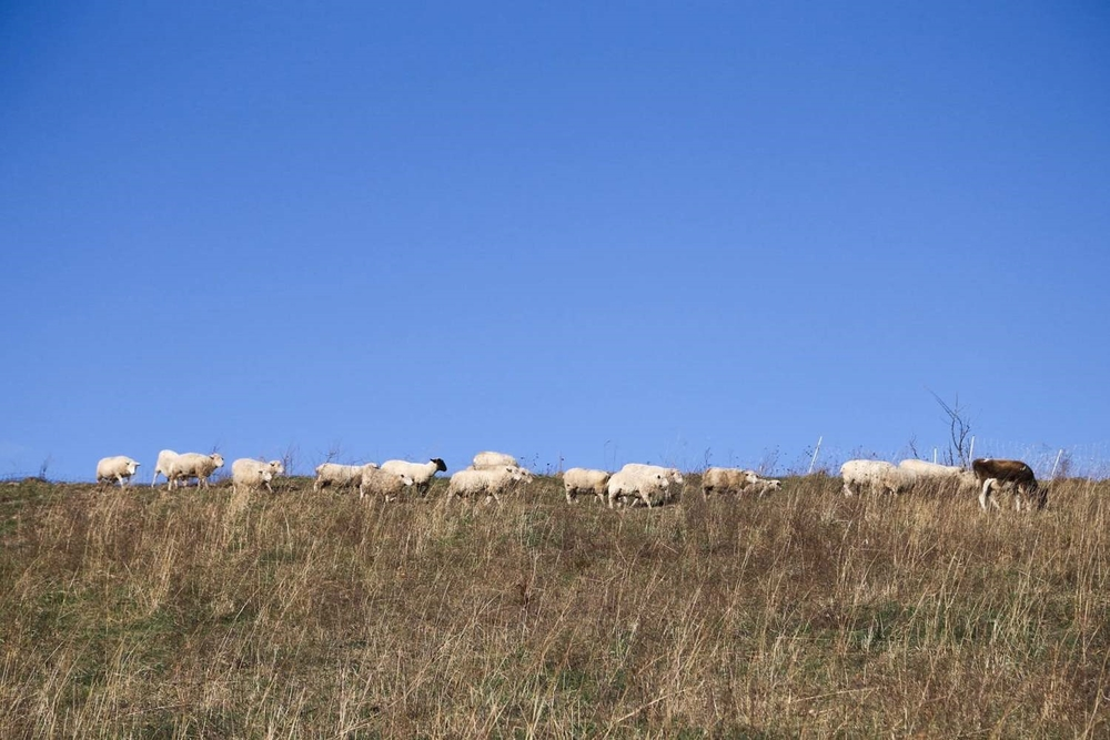 Sheep on the hilltop.