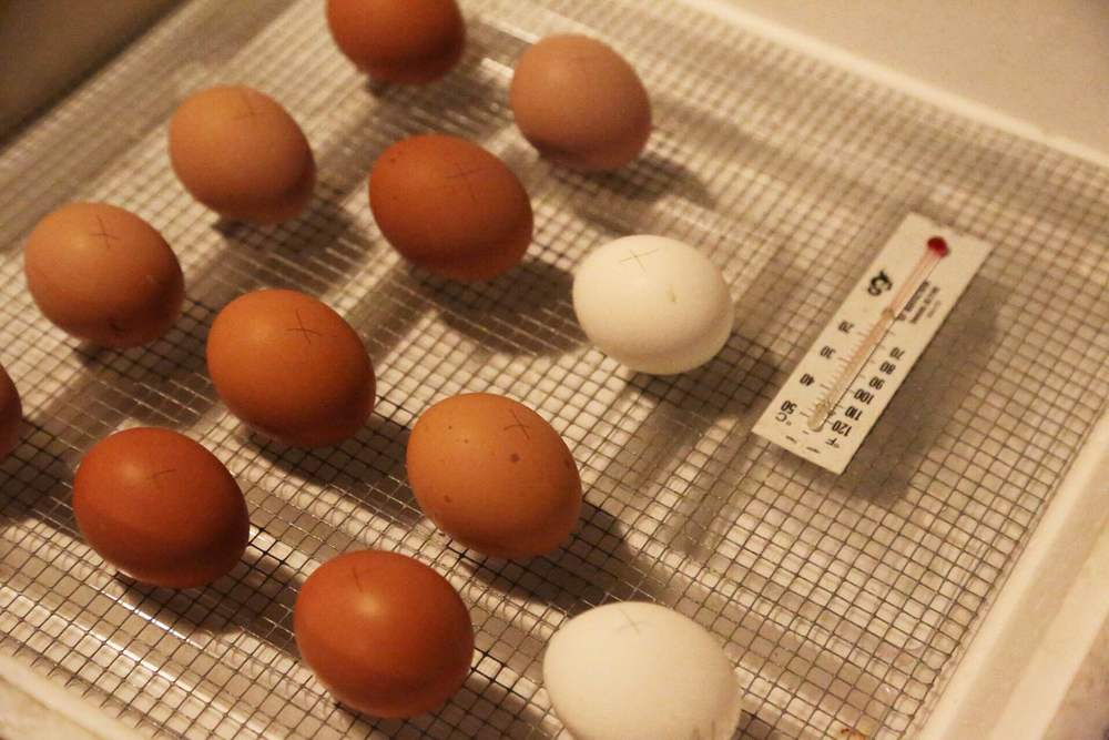 Eggs in our incubator. Should be fun to see what we get!