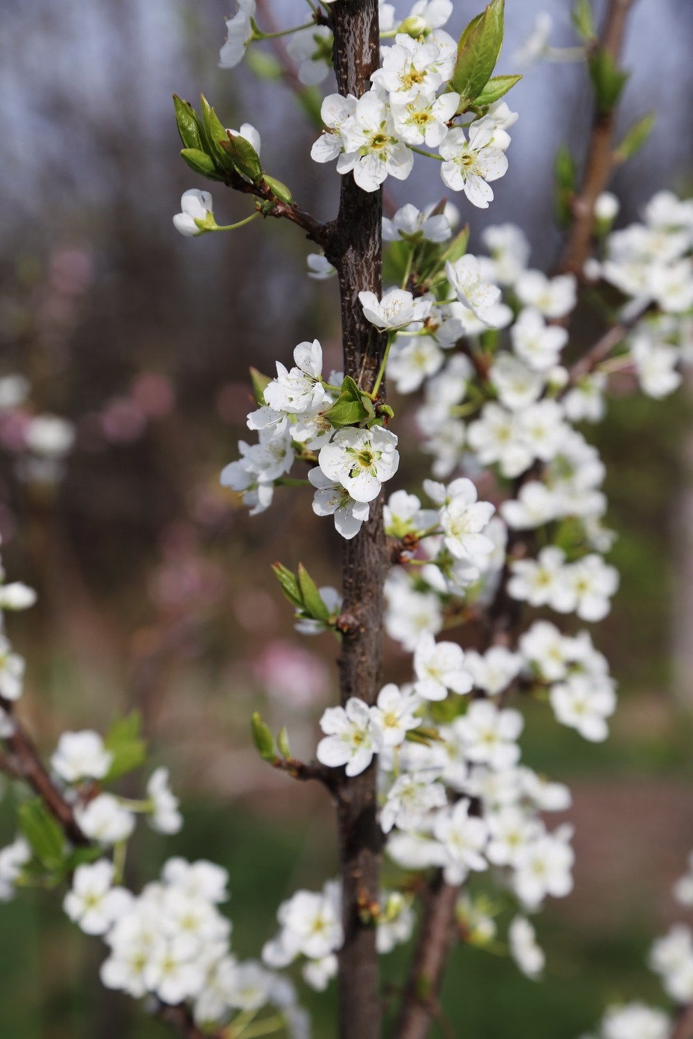 'Ruby Sweet' plum. Let's hope for at least a few this year!