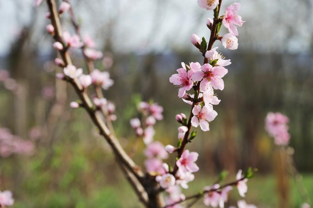 'Harbinger' peach in almost full bloom