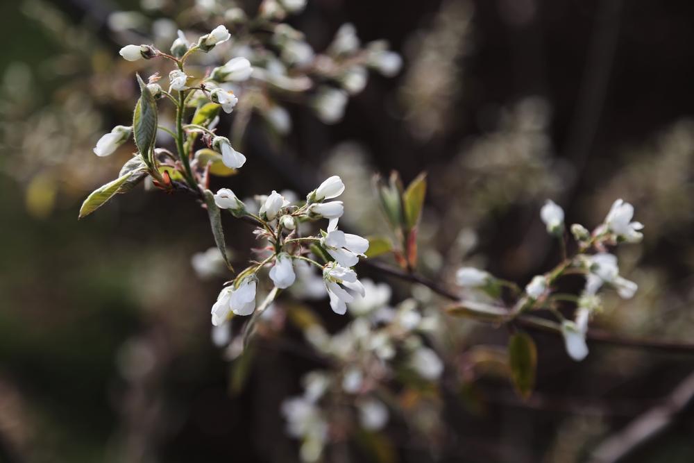 Amelanchier x grandiflora 'Autumn Brilliance' Serviceberry