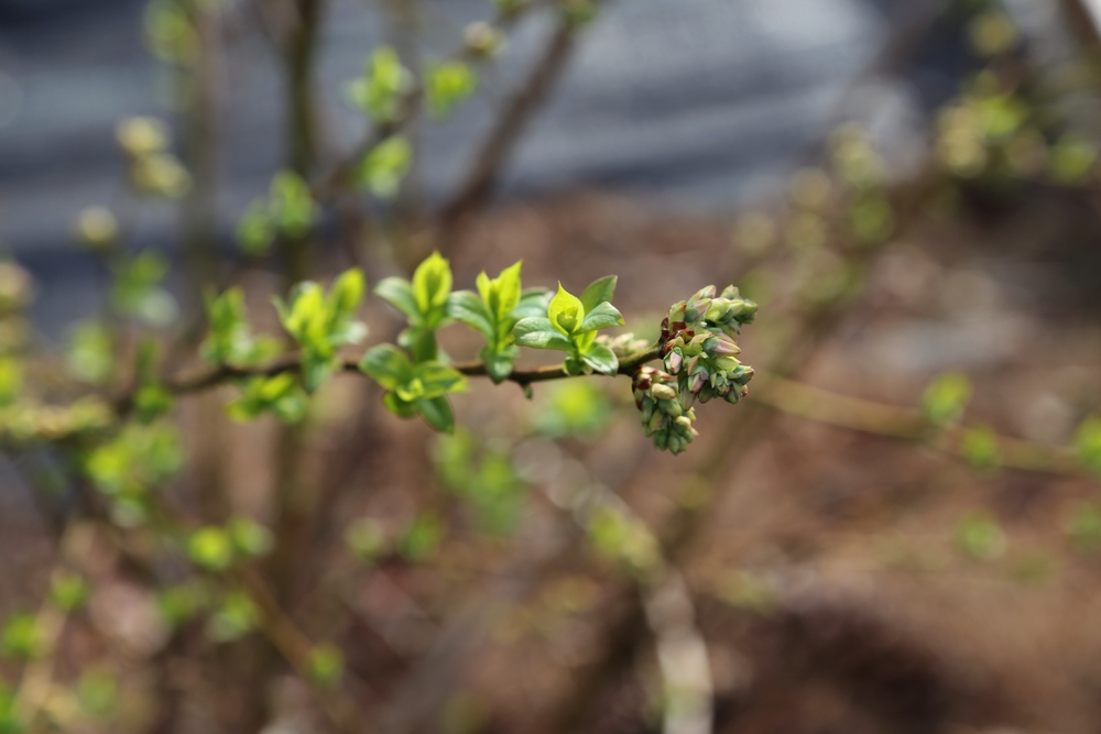 Some of the blueberries are rather close to opening. Can't wait for fresh berries in just a couple months.