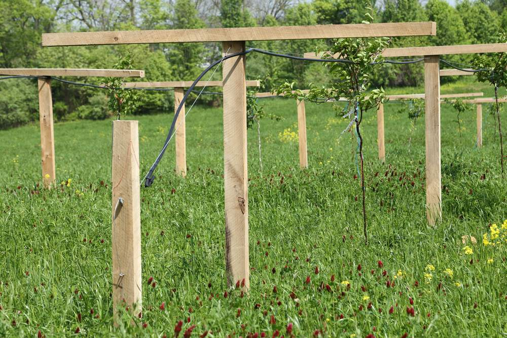 Newly planted hardy kiwi on their trellis