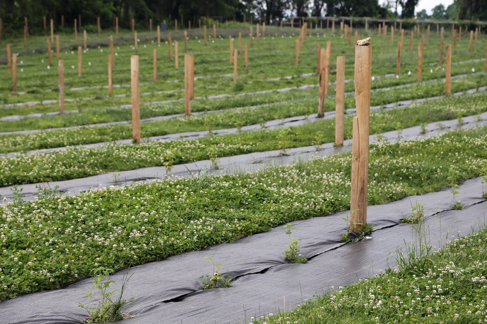 Looking across the mulched rows. Woven plastic will suppress weeds and allow the new planting to grow competition-free.