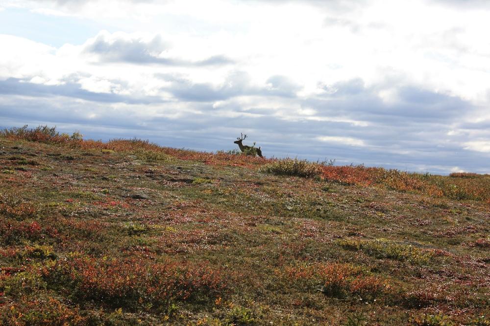 Caribou in Denali Park.jpeg